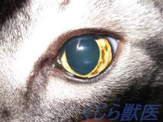 猫虹彩異色症