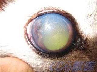 猫虹彩異色症緑内障